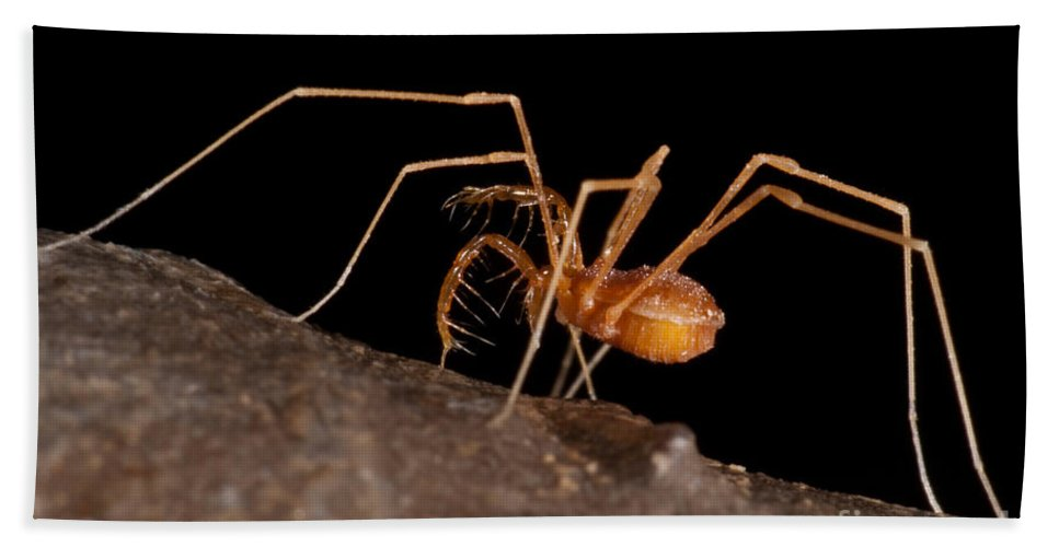 Harvestmen Beach Towel featuring the photograph Cave Harvestman by Dant� Fenolio
