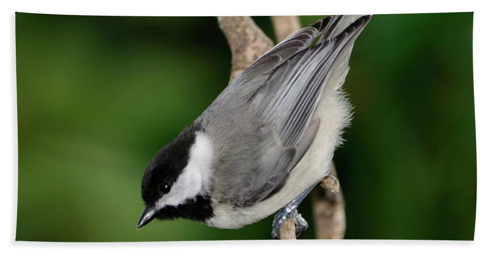 Black-capped Chickadee Beach Towel featuring the photograph Chickadee by Betty LaRue