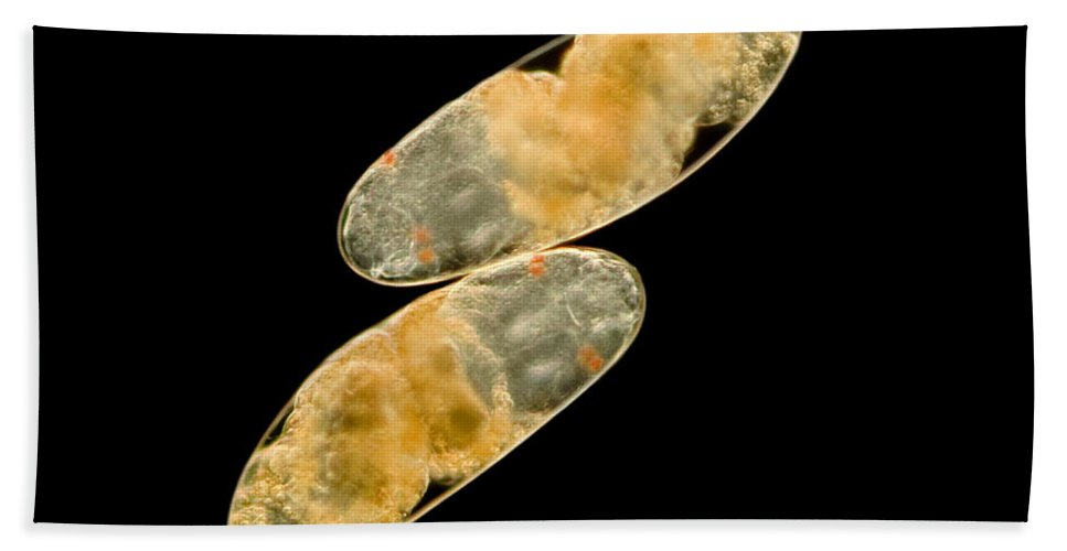 Egg Beach Towel featuring the photograph Chironomid Eggs, Lm by Rub�n Duro/BioMEDIA ASSOCIATES LLC