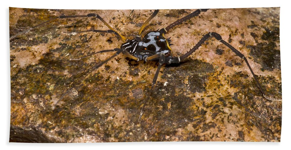 Gonyleptid Harvestmen Beach Towel featuring the photograph Colorful Harvestman by Dant� Fenolio