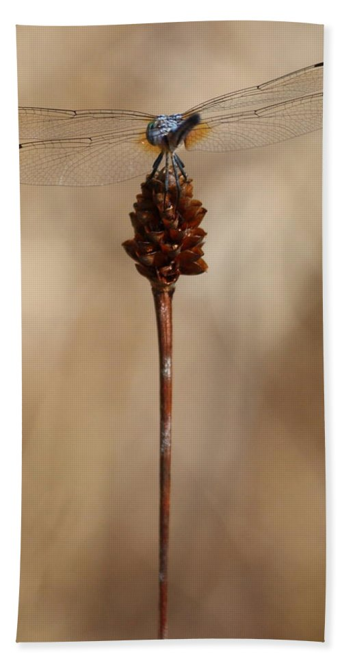 Dragonfly Beach Towel featuring the photograph Dragonfly On Reed by Carol Groenen