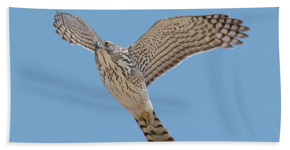 Hawk Beach Towel featuring the photograph Flying Low by Judd Nathan