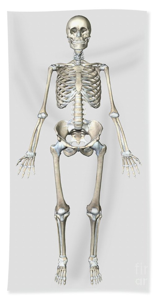 Front View Of Human Skeletal System Beach Towel For Sale By
