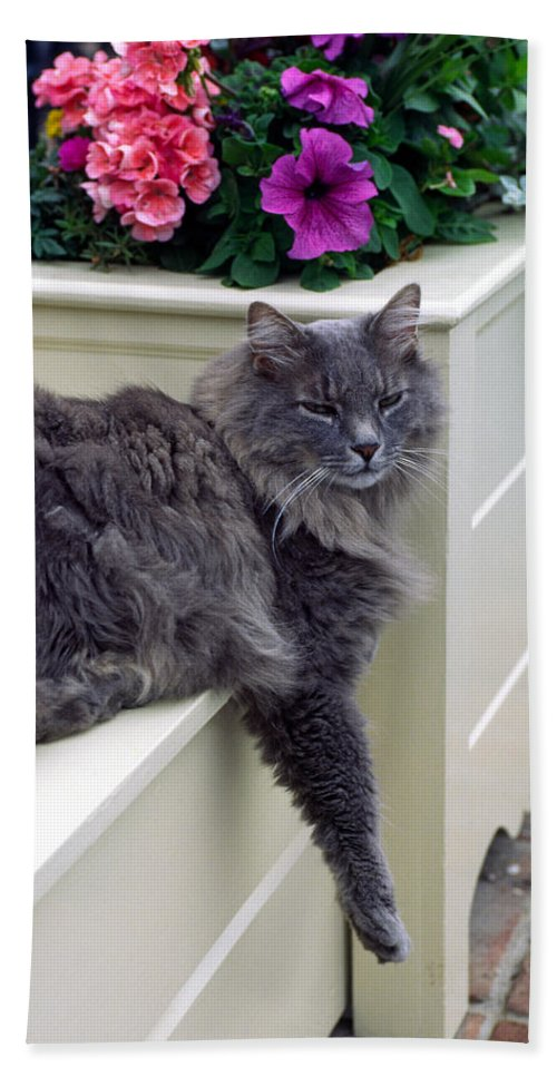 Maine Coon Cat Beach Towel featuring the photograph Hangin' Out by Sally Weigand