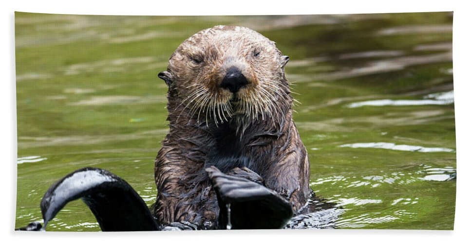 Otter Beach Towel featuring the photograph Heads Or Tails by Mike Dawson