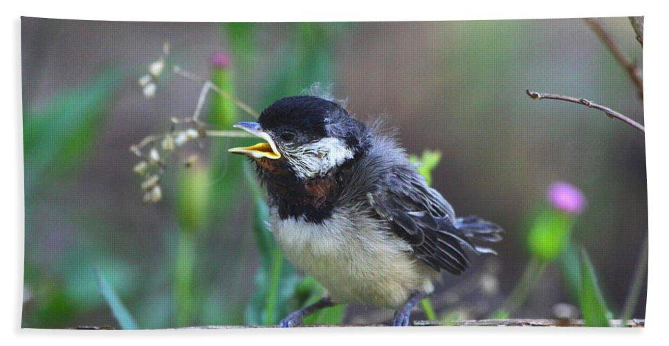 Carolina Chickadee Fledgling Beach Towel featuring the photograph Hello World by Barbara Bowen