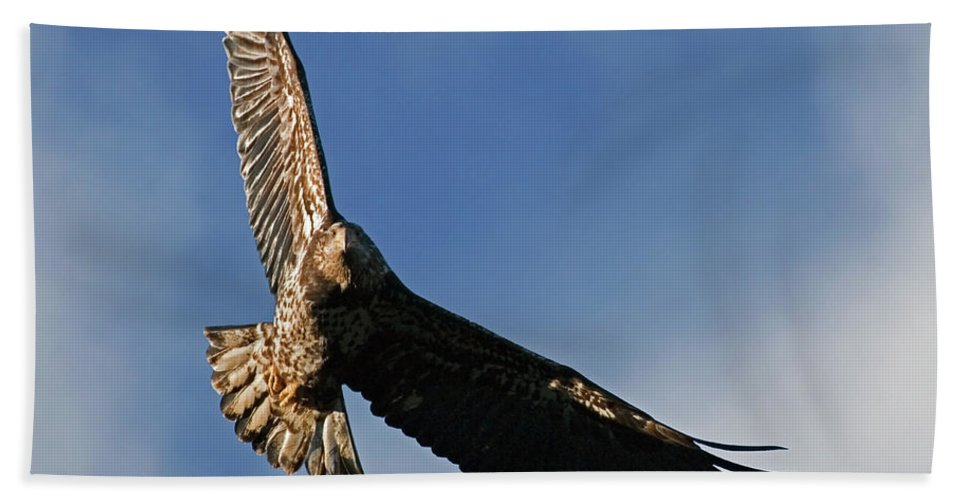 Bald Eagle Beach Towel featuring the photograph Juvenile Bald Eagle by Randall Ingalls