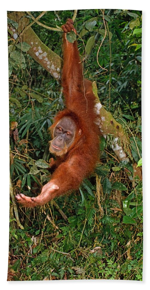 Orangutan Beach Towel featuring the photograph Looking For A Handout by Michele Burgess
