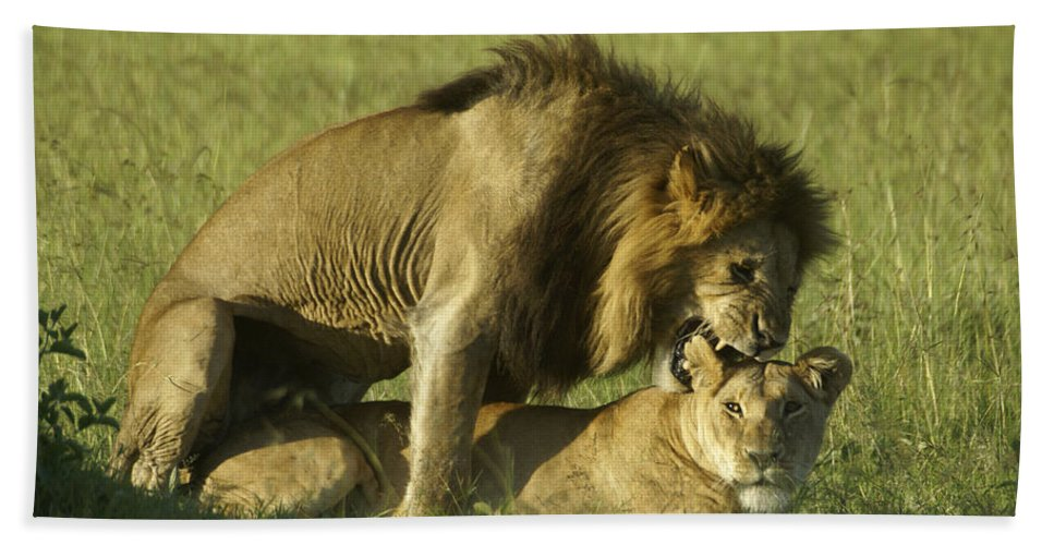 Africa Beach Towel featuring the photograph Love Bite by Michele Burgess