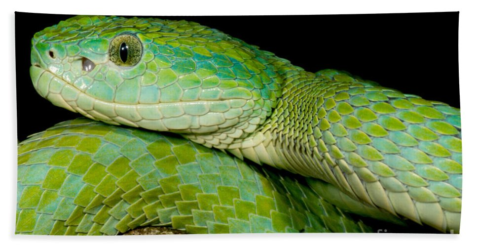 Bothriechis Marchi Beach Towel featuring the photograph Marchs Palm Pitviper by Dant� Fenolio