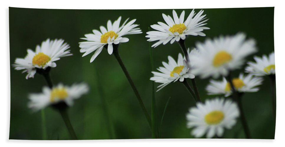 Field Of Daisies Beach Towel featuring the photograph Margherite by Ilaria Andreucci