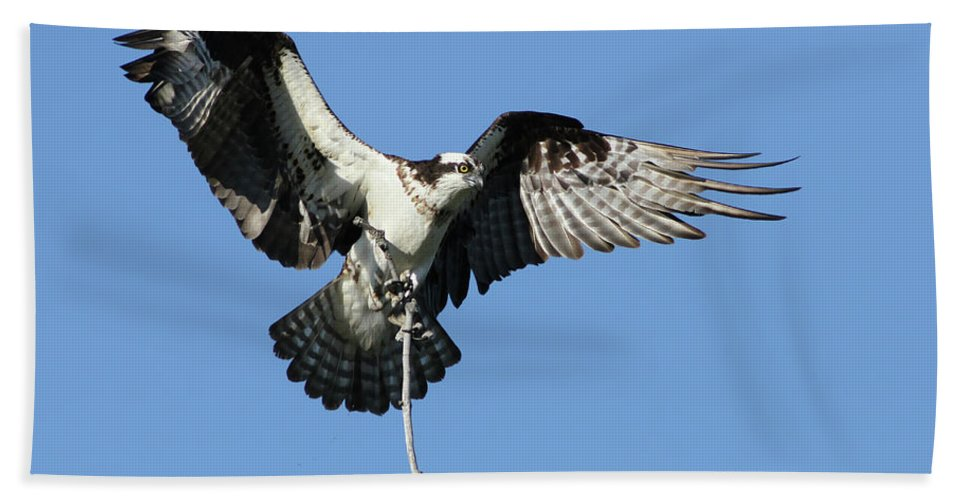 Adult Beach Towel featuring the photograph Osprey by Mircea Costina Photography