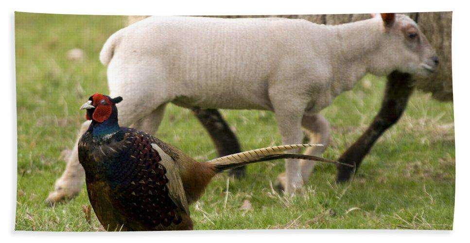 Pheasant Beach Towel featuring the photograph Pheasant And Lamb by Angel Ciesniarska
