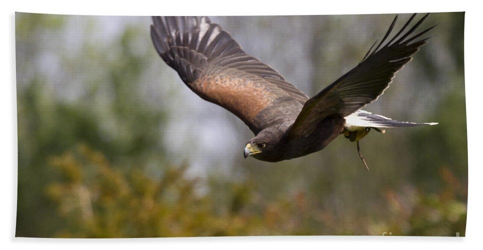Bird Of Prey Beach Towel featuring the photograph Prepare For Landing by Angel Ciesniarska