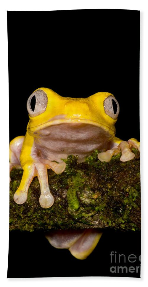 Red-eye Treefrog Beach Towel featuring the photograph Red-eyed Treefrog, Xanthic Form by Dant� Fenolio