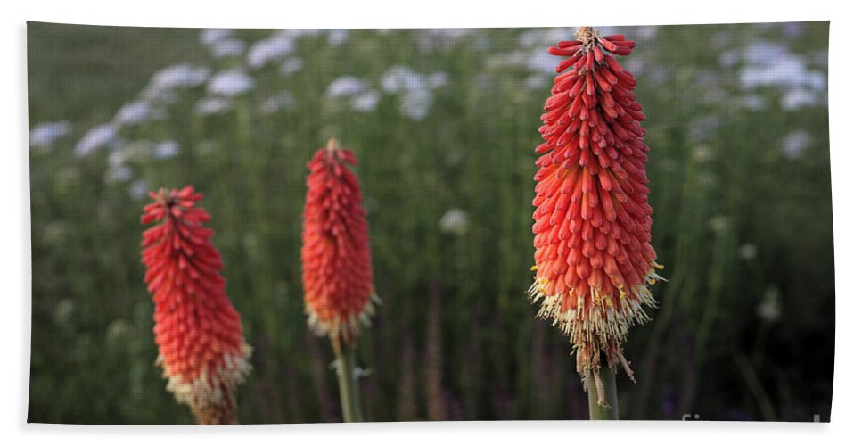 Red-hot Poker Beach Towel featuring the photograph Red Hot Pokers by William Kuta