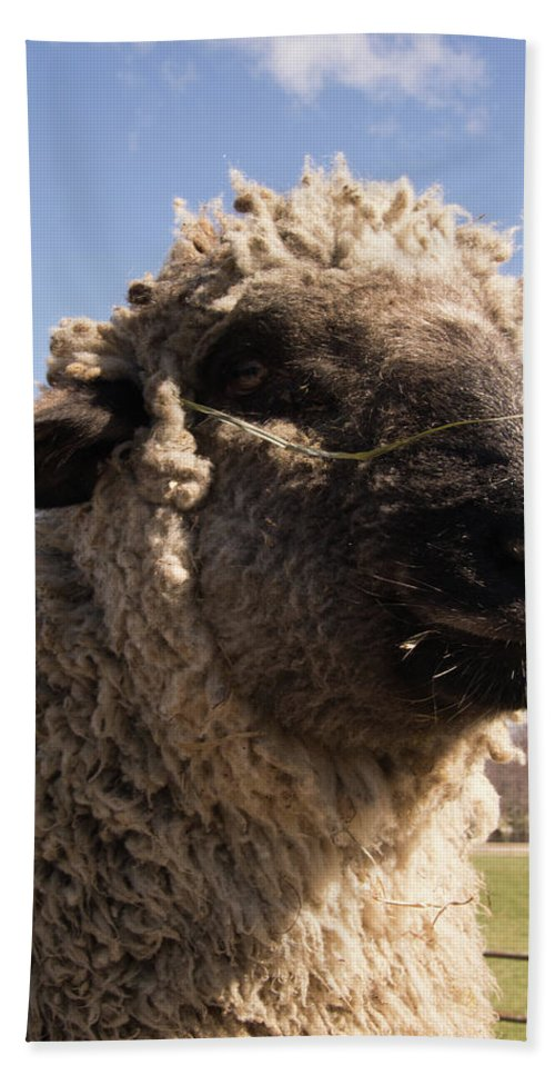 Sheep Beach Towel featuring the photograph Sheep Face by Diane Schuler
