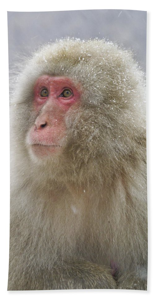 Japan Beach Towel featuring the photograph Snow-dusted Monkey by Michele Burgess