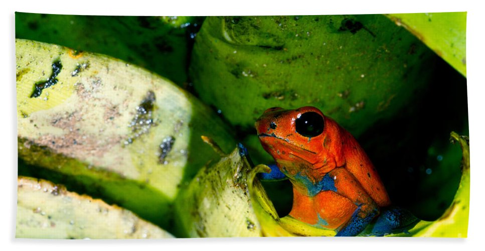 Strawberry Poison Frog Beach Towel featuring the photograph Strawberry Poison Dart Frog by Dant� Fenolio