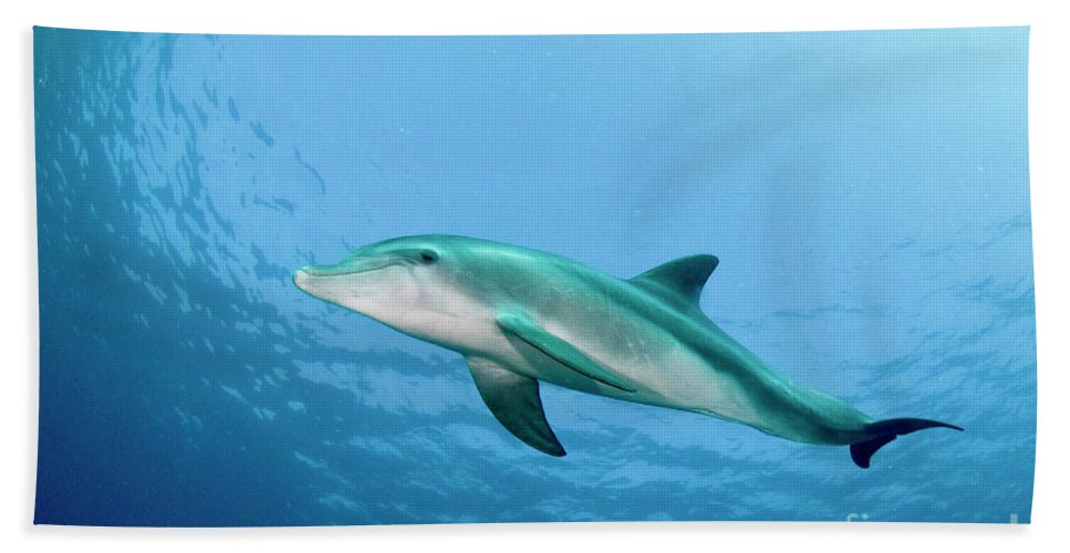 Dolphin Beach Towel featuring the photograph three year old Dolphin by Hagai Nativ