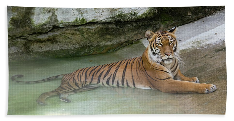Tiger Beach Towel featuring the photograph Tiger by John Black