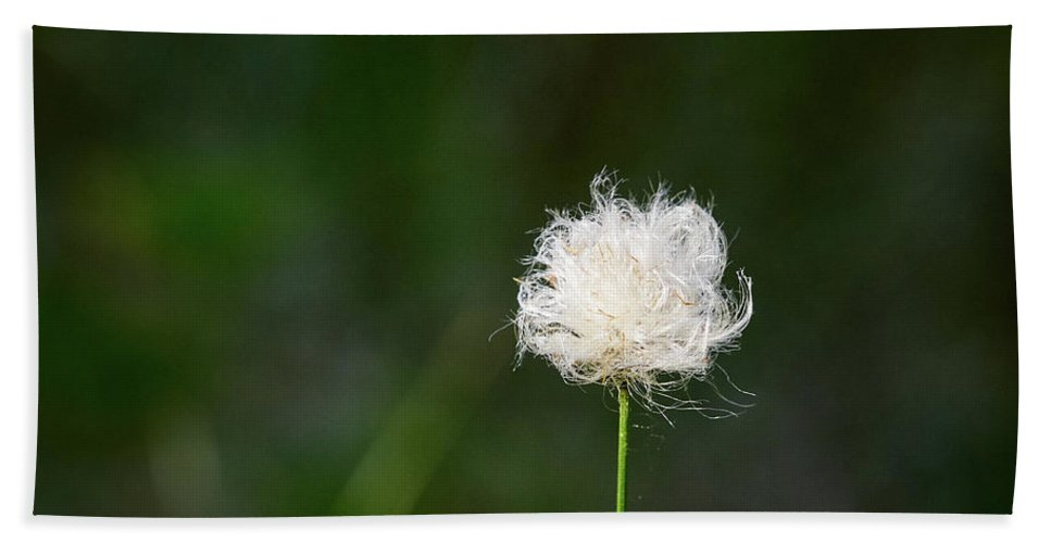 Finland Beach Towel featuring the photograph Tussock Cottongrass by Jouko Lehto