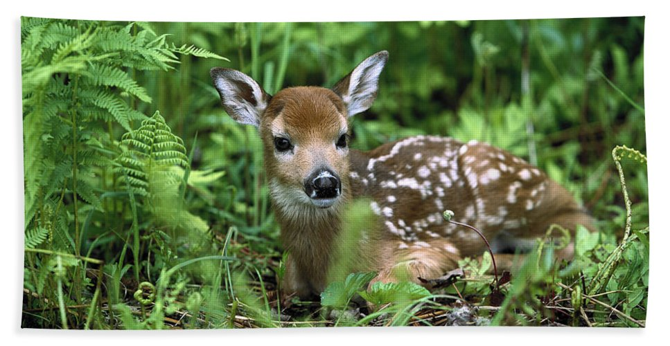 Mp Beach Towel featuring the photograph White-tailed Deer Odocoileus by Konrad Wothe