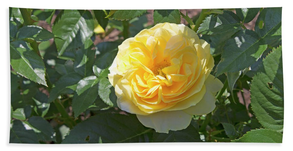Rose Beach Towel featuring the photograph Yellow Rose by LaMont Johnson
