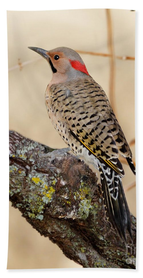 Northern Flicker Beach Towel featuring the photograph Yellow-shafted Northern Flicker by Betty LaRue