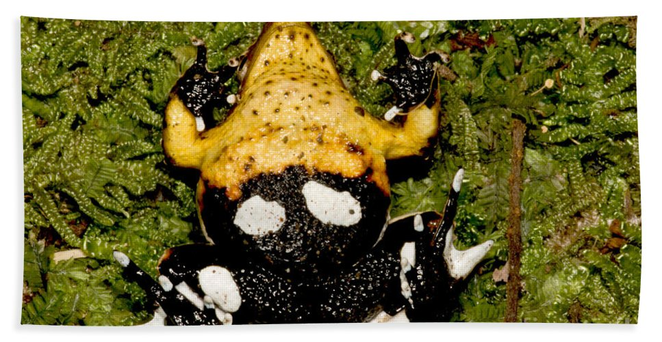 Darwin�s Frogs Beach Towel featuring the photograph Darwins Frog by Dant� Fenolio