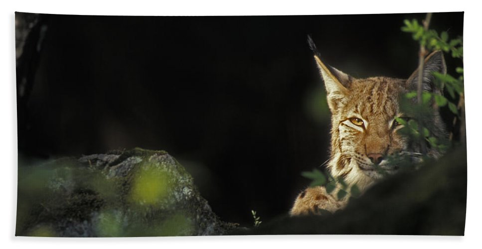 Eurasian Lynx Beach Towel featuring the photograph 151001p105 by Arterra Picture Library