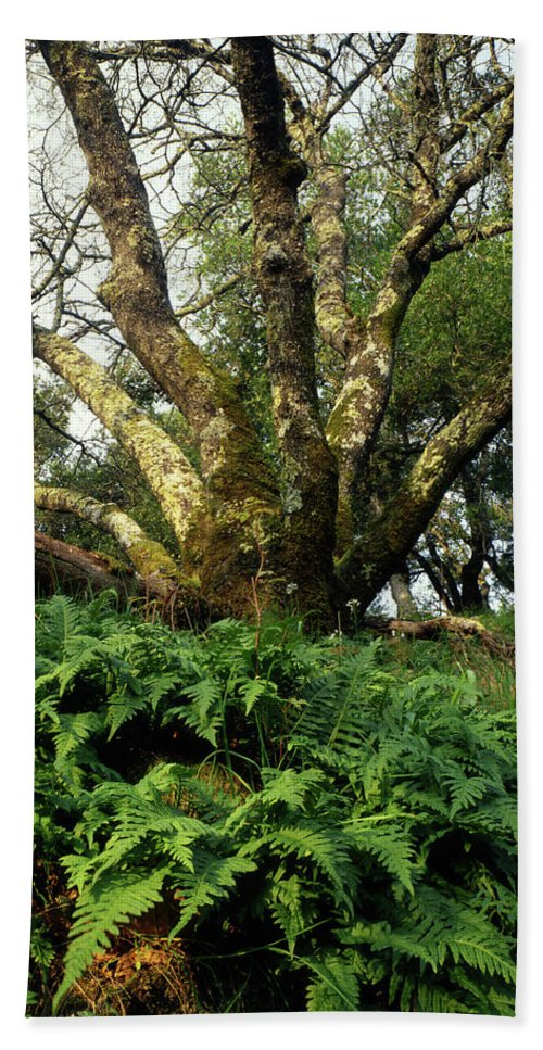 Ferns Beach Towel featuring the photograph 1b6339 Frens And Oaks On Our Mountain by Ed Cooper Photography