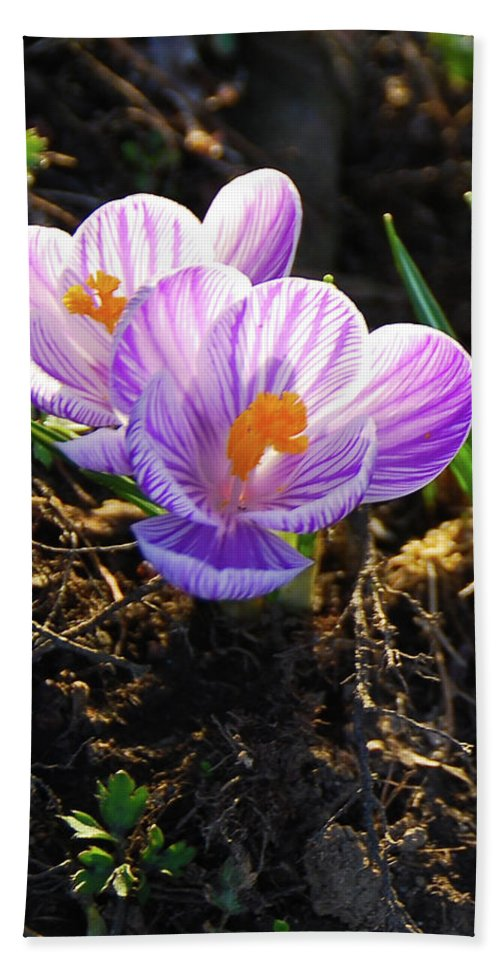Pams Gardens Beach Towel featuring the photograph Crocus 0083 by Guy Whiteley