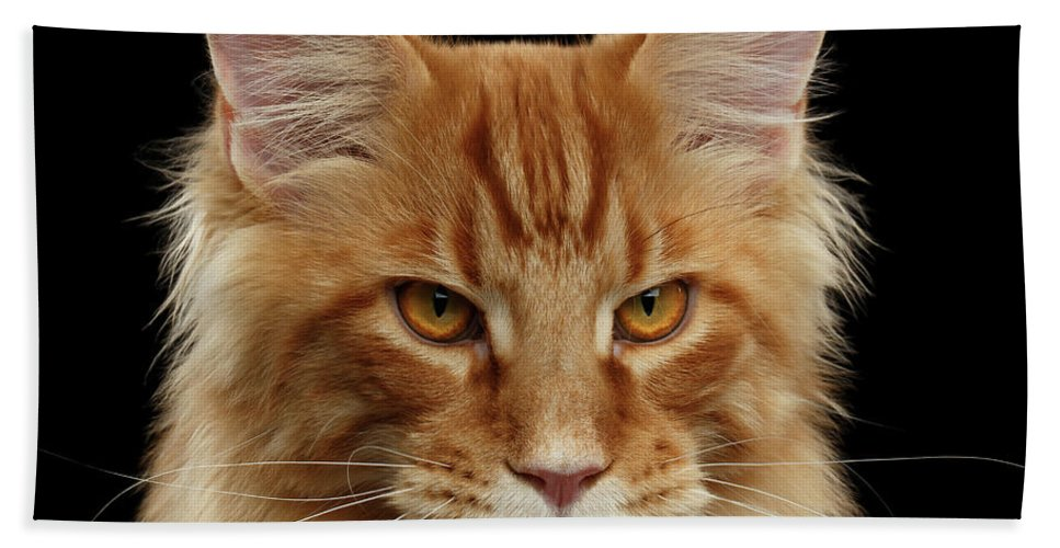 Angry Beach Towel featuring the photograph Angry Ginger Maine Coon Cat Gazing On Black Background by Sergey Taran