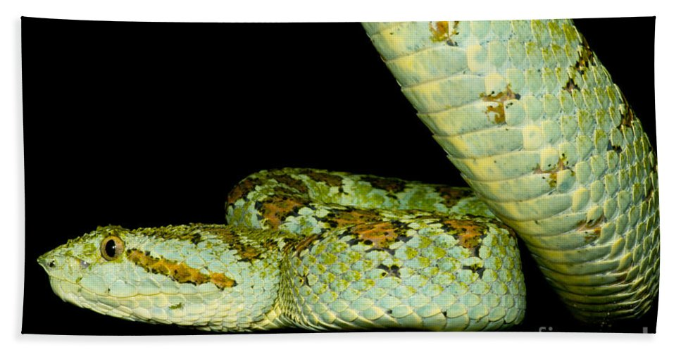 Blotched Palm Pitviper Beach Towel featuring the photograph Blotched Palm Pitviper by Dant� Fenolio