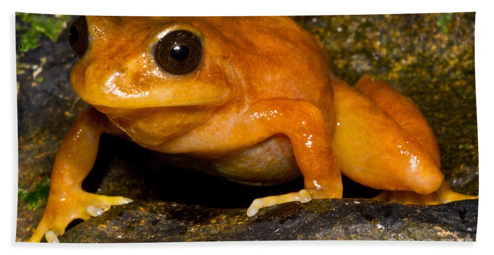 Chilean Tomato Frog Beach Towel featuring the photograph Chilean Tomato Frog by Dant� Fenolio