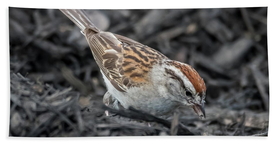 Nature Beach Towel featuring the photograph Chipping Sparrow by Michael Cunningham