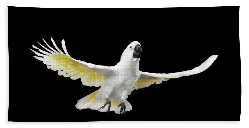 962ef9c4e451 Flying Crested Cockatoo Alba, Umbrella, Indonesia, Isolated On Black  Background Beach Towel for Sale by Sergey Taran