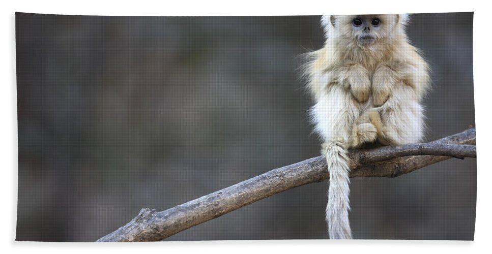 Mp Beach Towel featuring the photograph Golden Snub-nosed Monkey Rhinopithecus by Cyril Ruoso