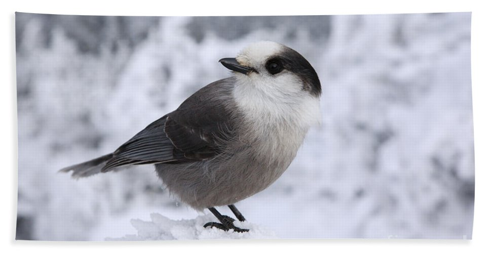Wings Beach Towel featuring the photograph Gray Jay - White Mountains New Hampshire Usa by Erin Paul Donovan