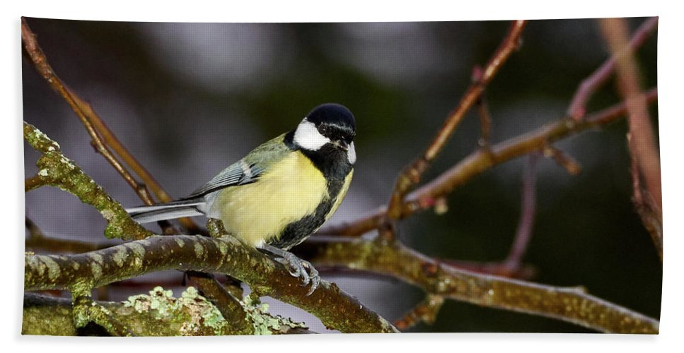Lehtokukka Beach Towel featuring the photograph Great Tit by Jouko Lehto