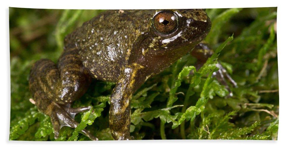 Mehu�n Green Frog Beach Towel featuring the photograph Mehu�n Green Frog by Dant� Fenolio