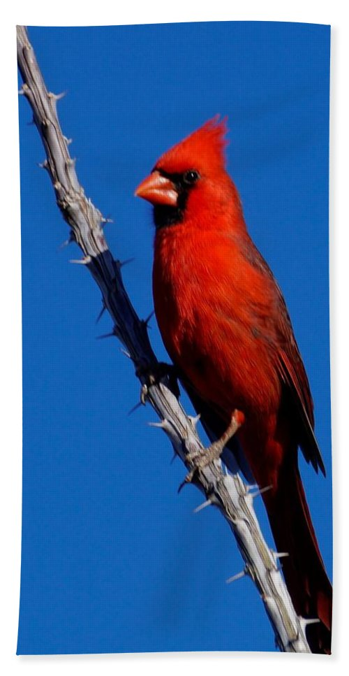 Birds Of North America Beach Towel featuring the photograph Northern Cardinal by Dennis Boyd