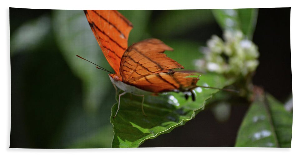 Butterfly Beach Towel featuring the photograph Ruddy Daggerwing Butterfly by Krista Russell