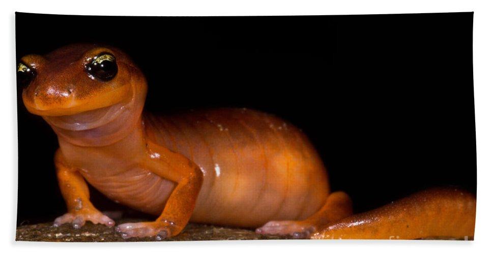 Animal Beach Towel featuring the photograph Yellow-eye Ensatina Salamander by Dant� Fenolio