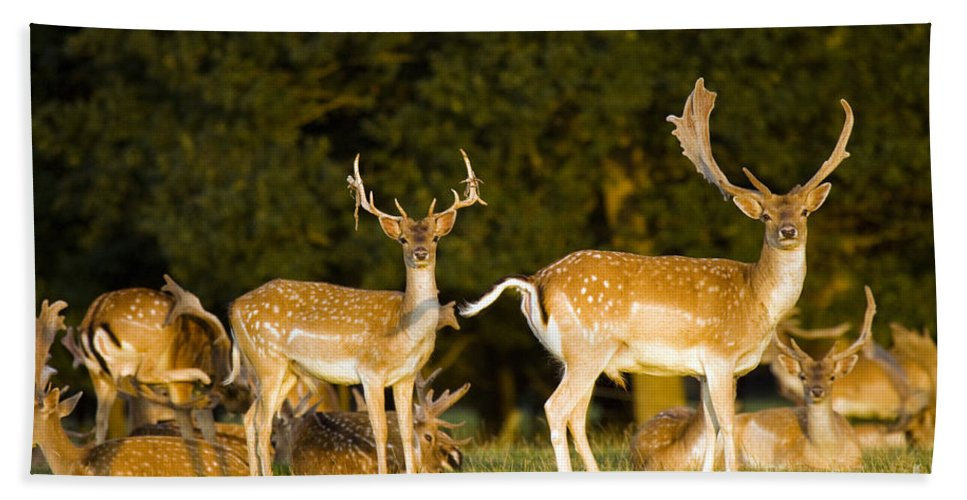 Fallow Deer Beach Towel featuring the photograph Fallow Deer by Angel Tarantella