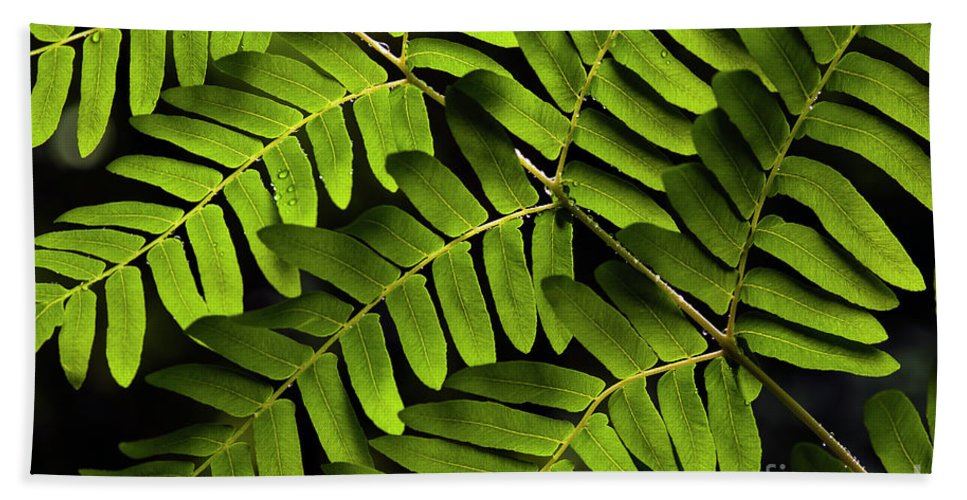 Bellevue Botanical Gardens Beach Towel featuring the photograph Fern Close-up Of Water Droplets by Jim Corwin