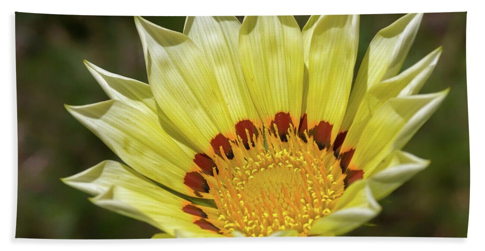 Plant Beach Towel featuring the photograph Gazania Petals by Shirley Mitchell