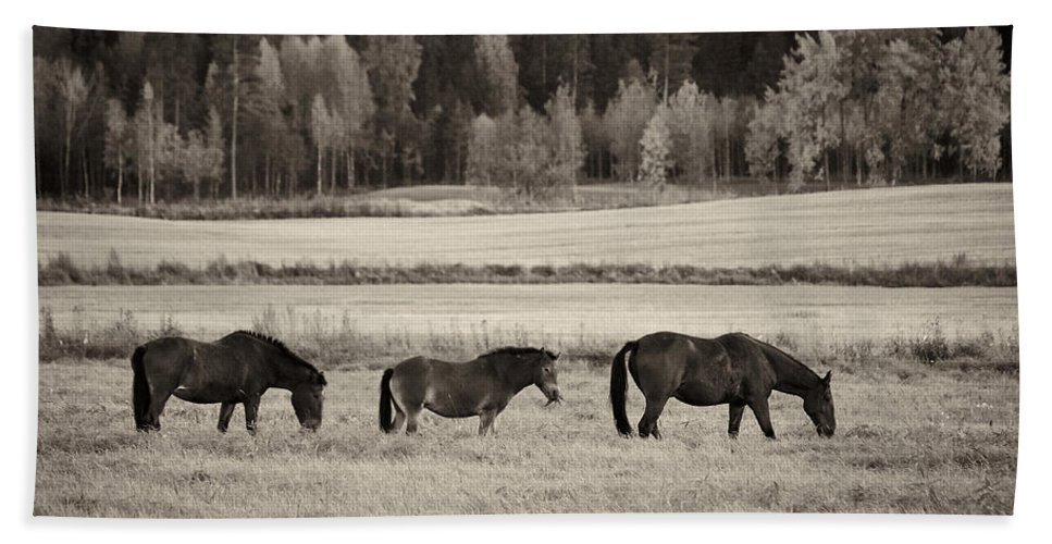 Finland Beach Towel featuring the photograph Horses Of The Fall Bw by Jouko Lehto