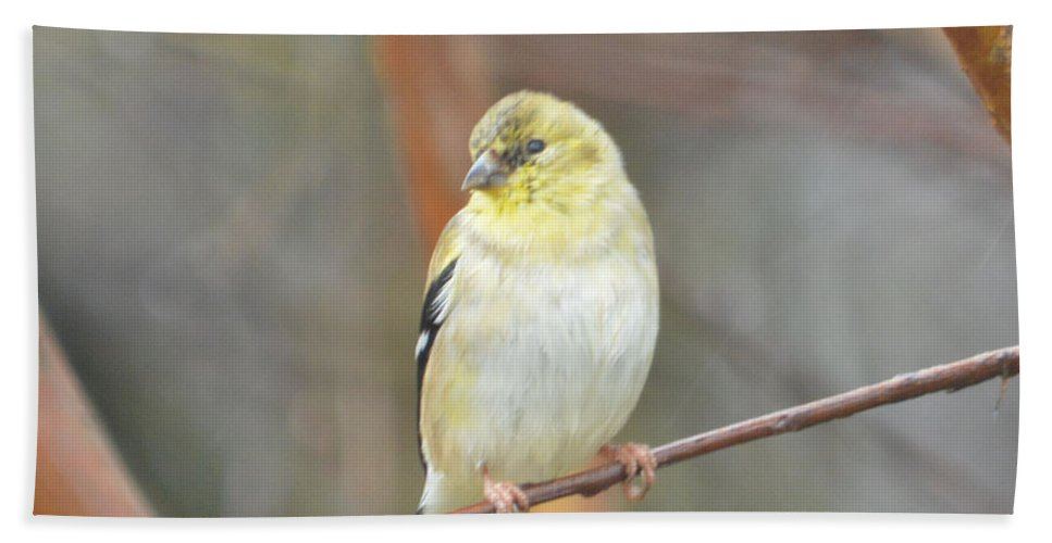 American Goldfinch Prints Beach Towel featuring the photograph American Goldfinch by Ruth Housley
